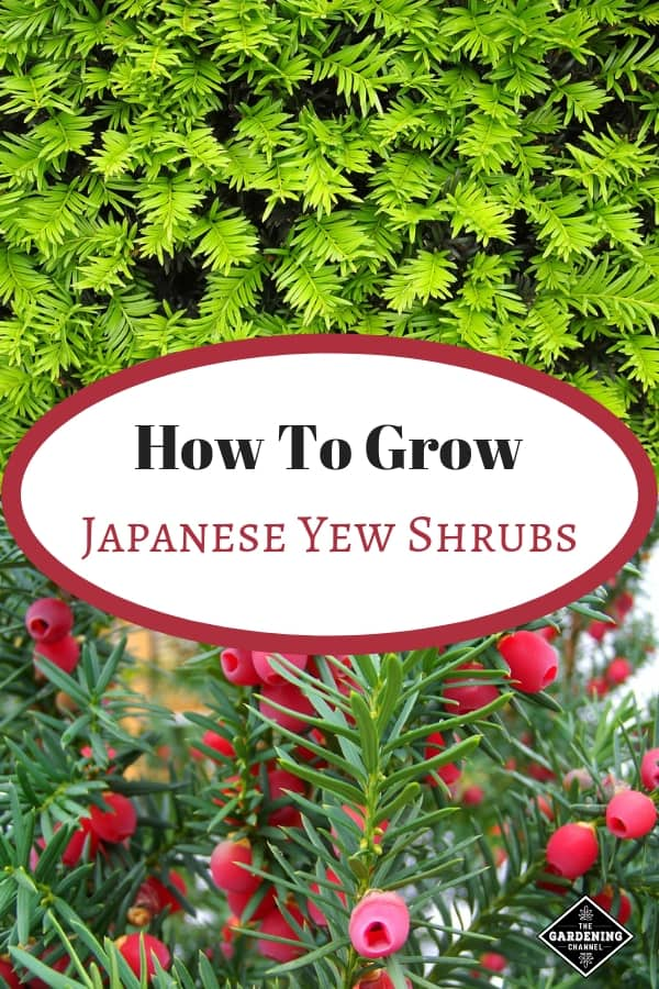 japanese yew shrub and close up of japanese yew with berries with text overlay how to grow japanese yew shrubs