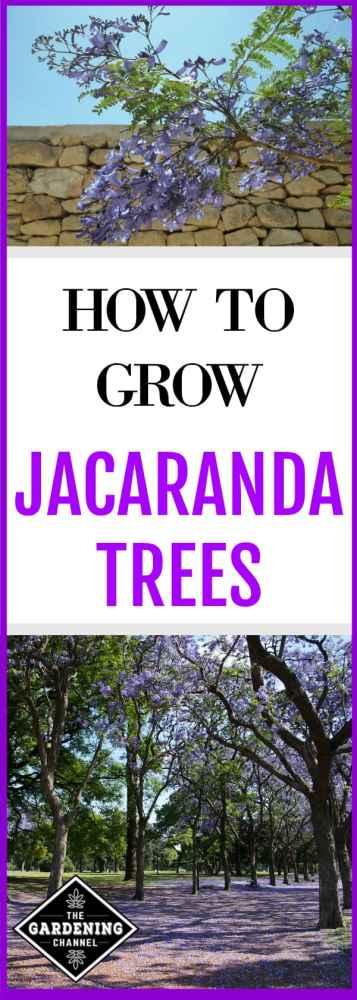 jacaranda tree bloom close up and jacaranda trees with text overlay how to grow jacaranda trees