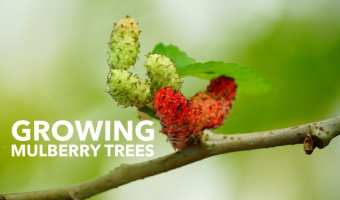 How to Grow Mulberry Trees