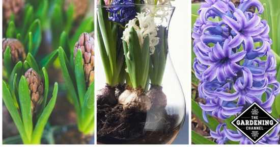 Growing Hyacinth Flowers