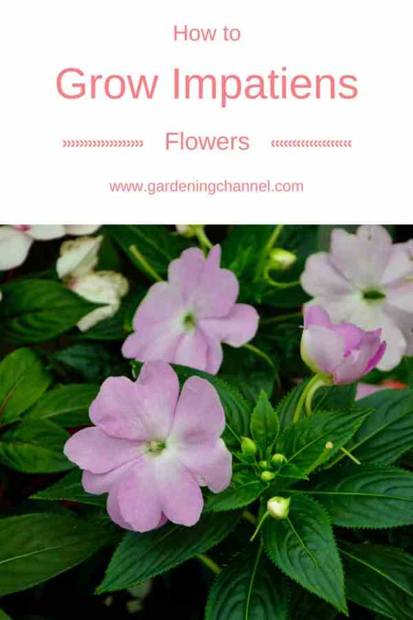 pink impatiens with text overlay how to grow impatiens flowers