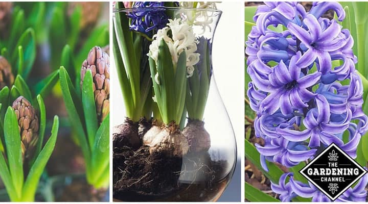 Growing hyacinth flowers