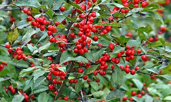 How to Grow Winterberry Holly
