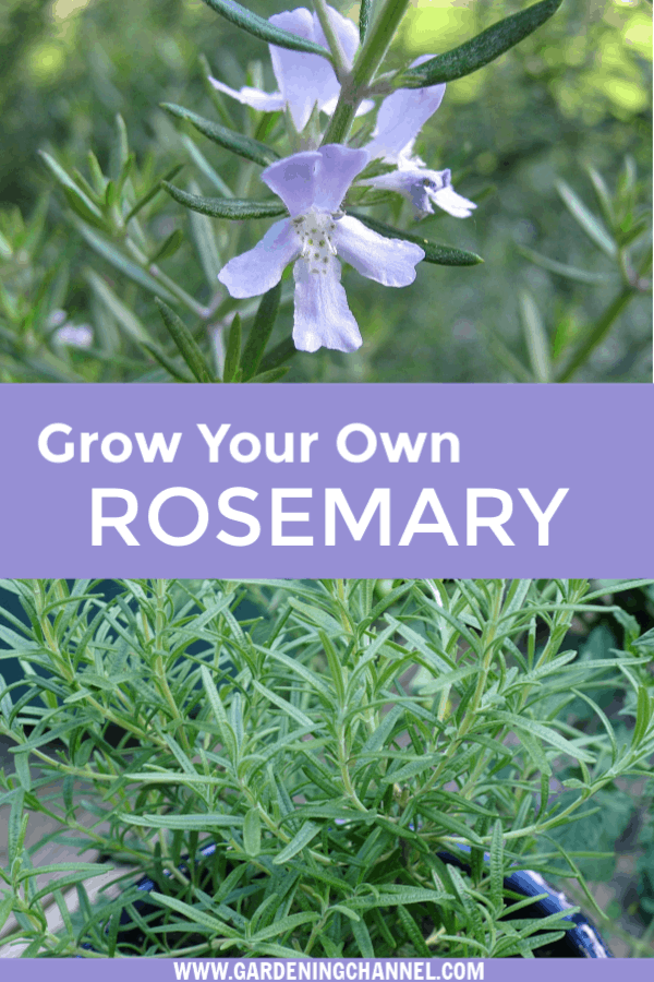 rosemary bush blooming and rosemary in pot with text overlay grow your own rosemary