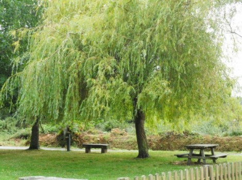When do you plant weeping willow trees