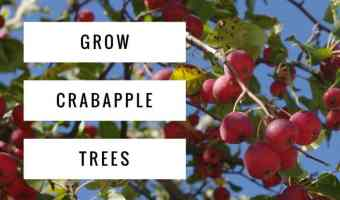 Growing Crabapple Trees
