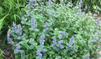 catmint flowers