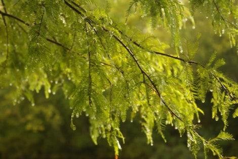 cypress tree
