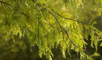 How to Grow Cypress Trees