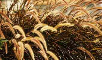 How to Grow Fountain Grass