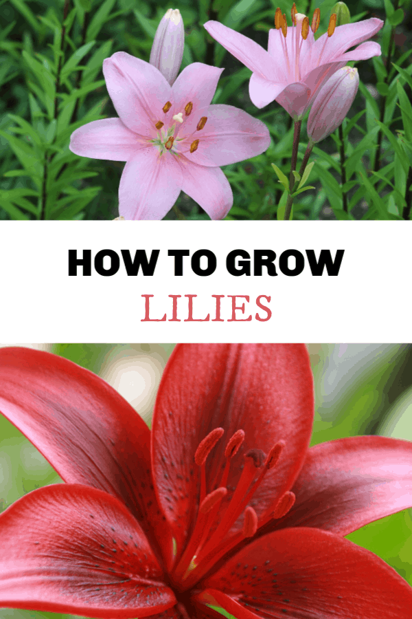 How To Grow Lilies Gardening Channel