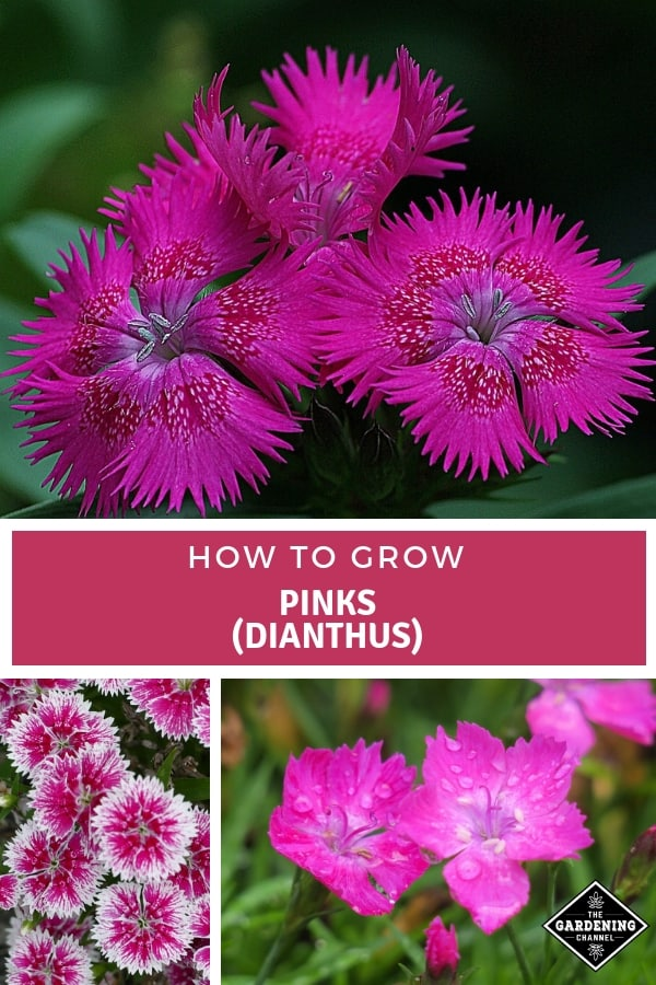 dianthus varities in the garden with text overlay how to grow pinks dianthus