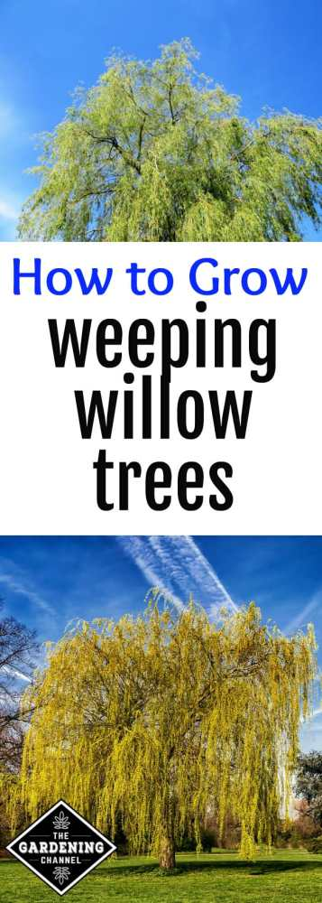 close up of weeping willow limbs and weeping willow in grass with text overlay how to grow weeping willow trees