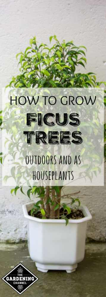 ficus tree with white background on patio with text overlay how to grow ficus trees outdoors and as houseplants