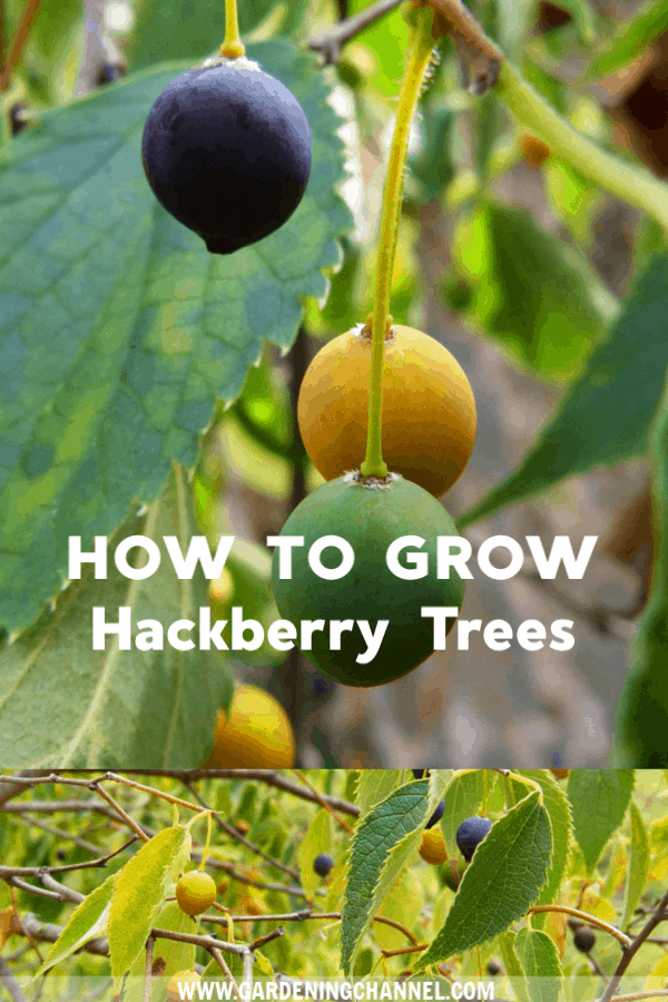 drupes on hackberry tree with text overlay how to grow hackberry trees