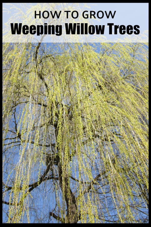 weeping willow tree in spring with text overlay how to grow weeping willow trees