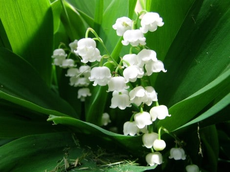 lily-of-valley-grow
