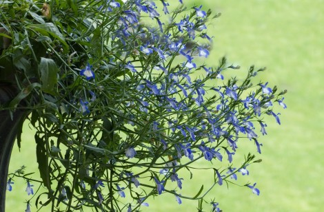 How To Grow Lobelia Flowers Gardening Channel