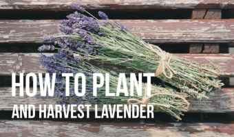 how to plant and harvest lavender