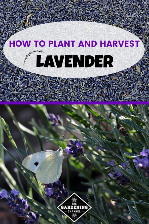 lavender buds and lavender growing in garden with text overlay how to plant and harvest lavender