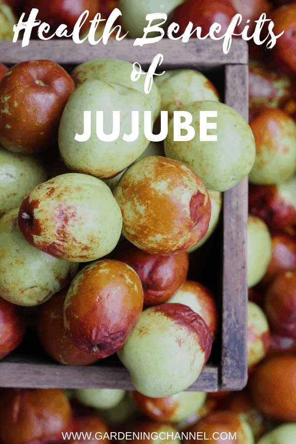 jujube harvested with text overlay health benefits of jujube