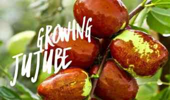 How to Grow the Jujube Fruit