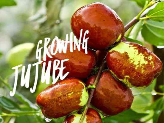 How to Grow Jujube Fruits