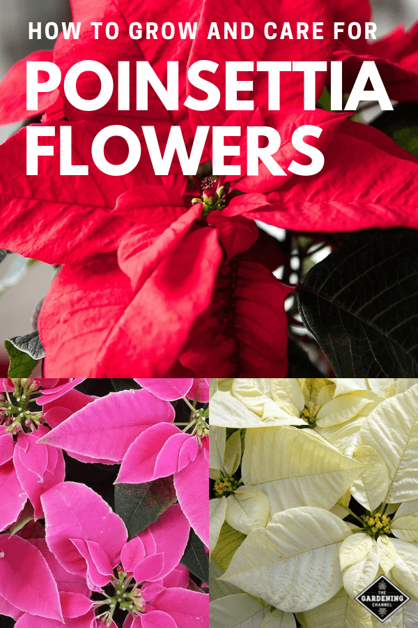 red pink and white poinsettias with text overlay how to grow and care for poinsettia flowers