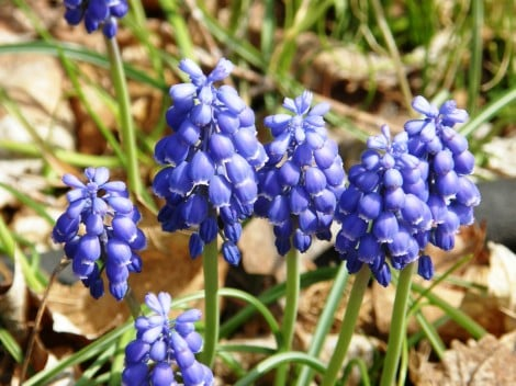 grape-hyacinth-grow