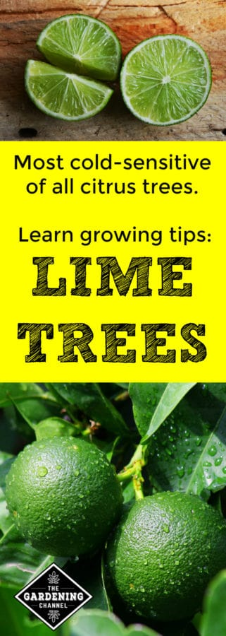 how to grow lime trees
