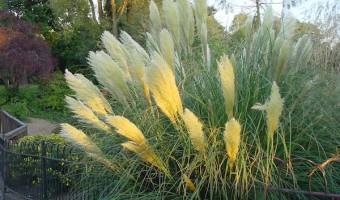 how to grow pampas grass
