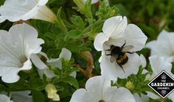 white petunia with pollinator bee