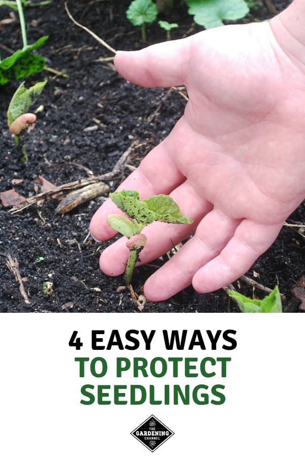 delicate seedling with hand by it with text overlay four easy ways to protect seedlings