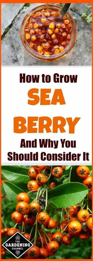 How to Grow Sea Berry