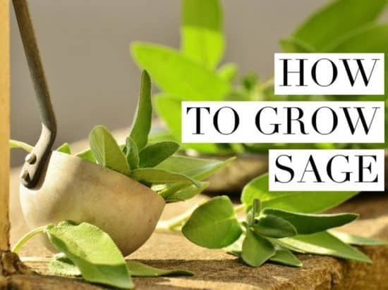 Sage Growing Tips