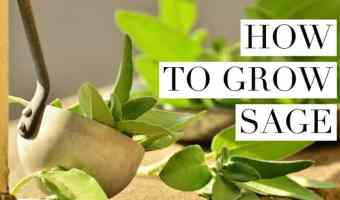 How to Grow Sage