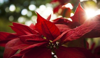 Lovely poinsettia