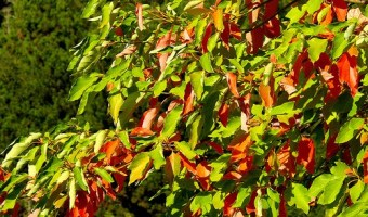 How to Grow a Sassafras Tree
