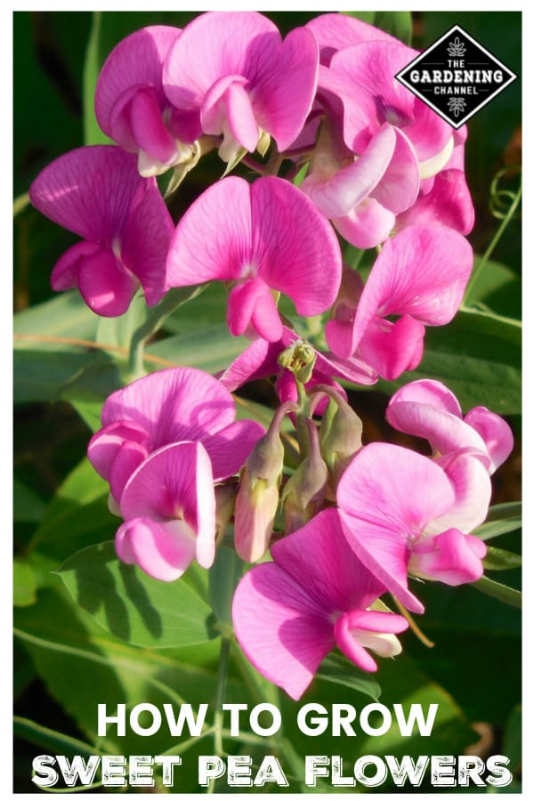 sweet pea flowers in garden with text overlay how to grow sweet pea flowers