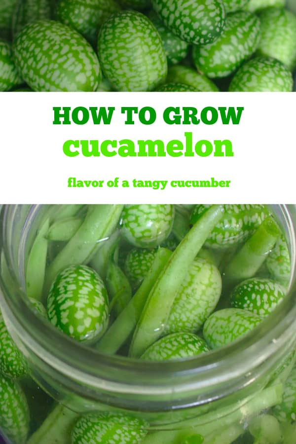 cucamelon harvested and preserved with text overlay how to grow cucamelon flavor of tangy cucumber
