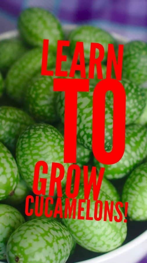 learn to grow cucamelons