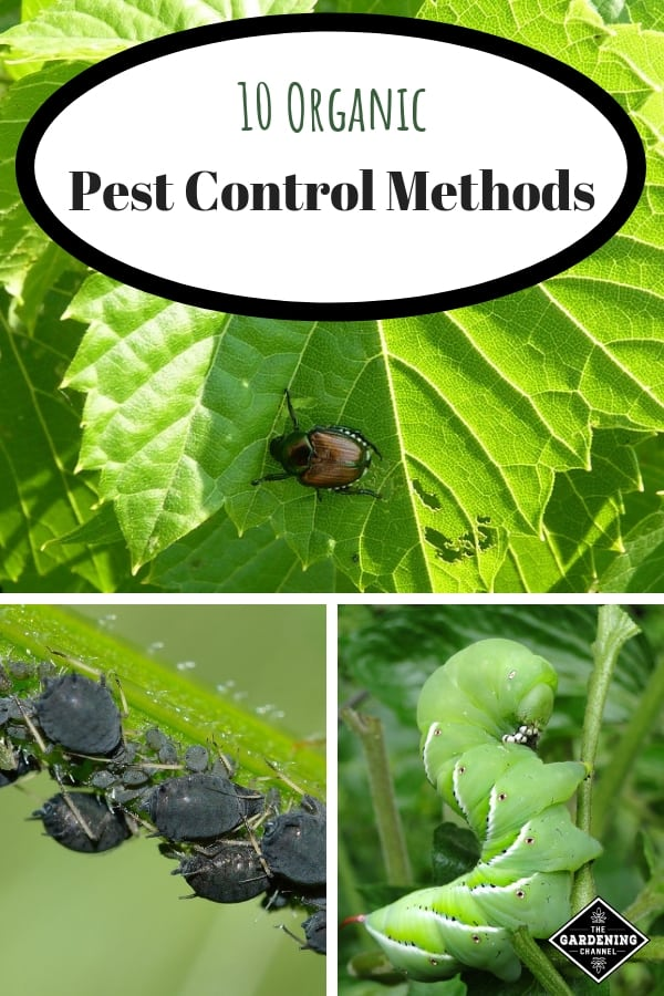 japanese beetle aphids and tomato worm with text overlay ten organic pest control methods