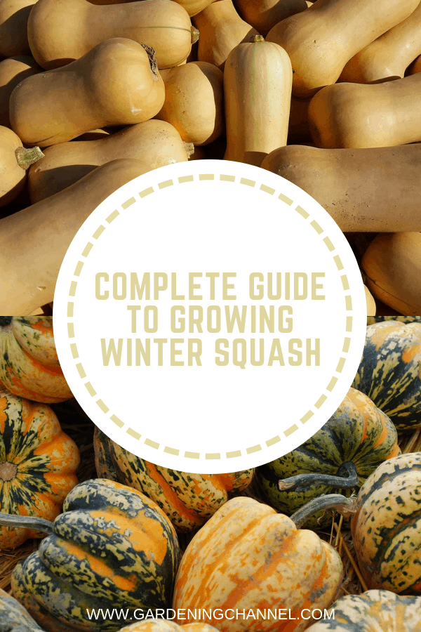 butternut squash and acorn squash with text overlay complete guide to growing winter squash
