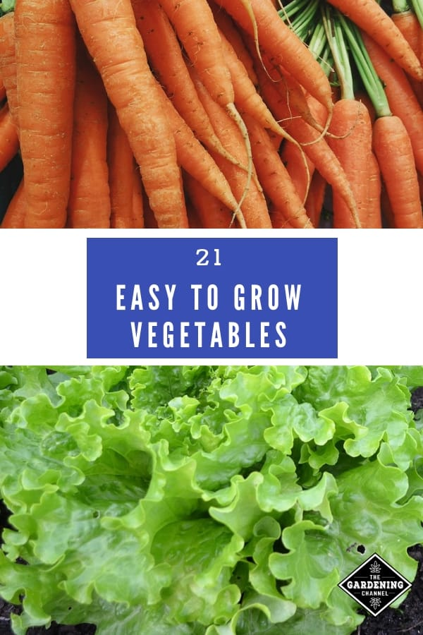 carrots harvested and lettuce with text overlay twenty one easy to grow vegetables