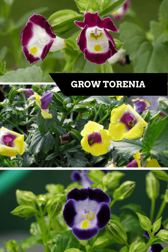 How to grow torenia