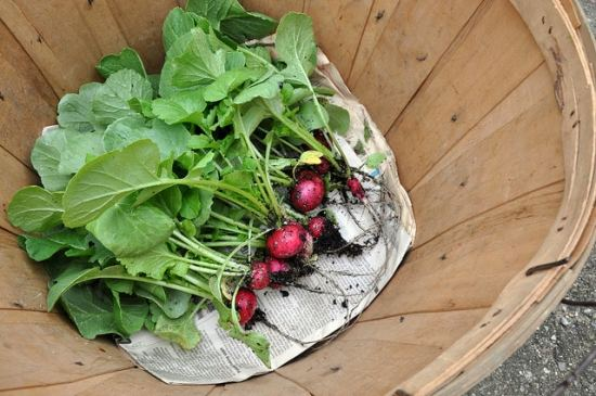 Radishes are easy to grow
