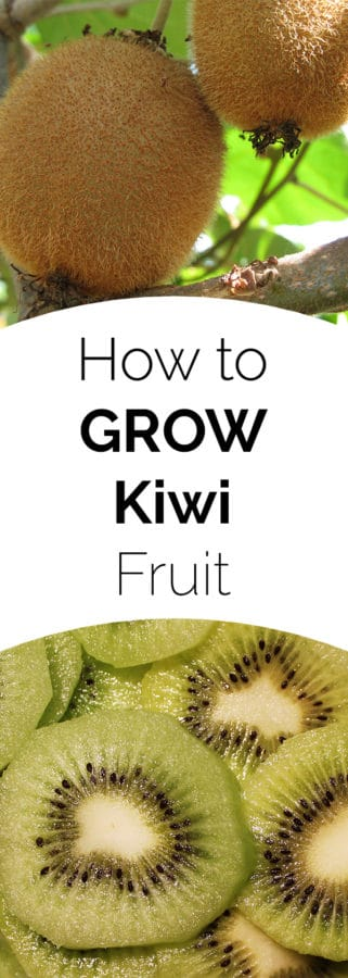 How to Grow Kiwi fruit