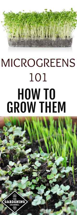 complete guide to growing microgreens