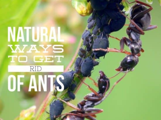Getting Rid of Ants in Garden Naturally