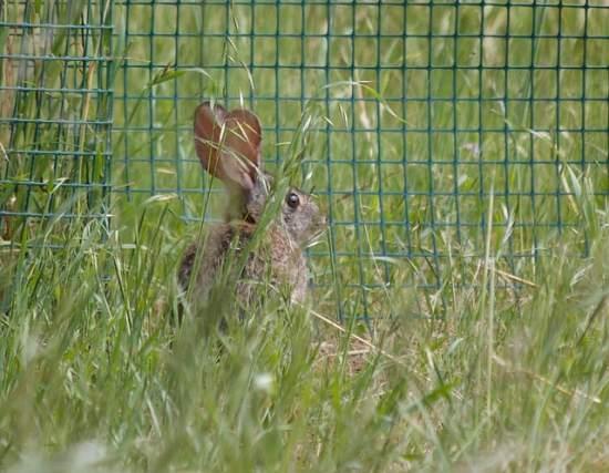 Natural Ways To Get Rid Of Rabbits